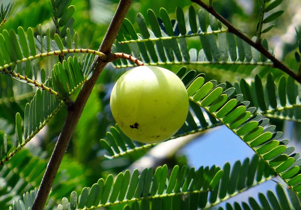 indian-gooseberry-337446_960_720