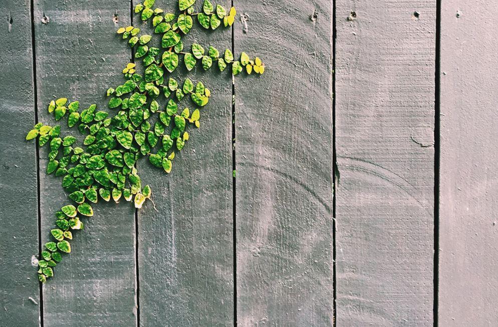 rostlina na plotě
